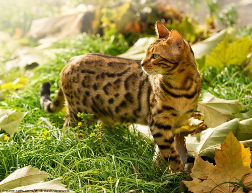 Feline Breeds of the World – Bengal